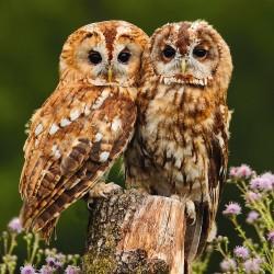RSPCA Blank Greeting Card Owls